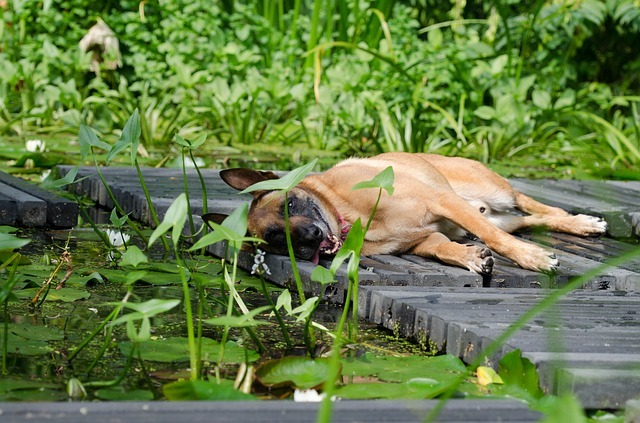 Free stock photo: Malinois, Water Garden, Dog Basks - Free Image on Pixabay - 662776 (24845)